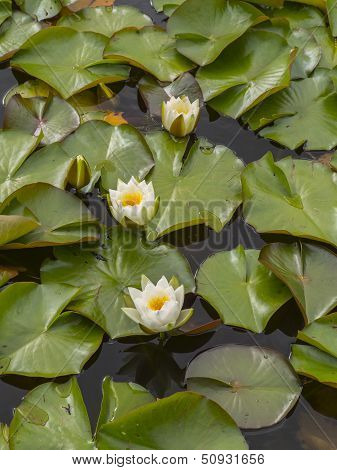 The Water Lilies