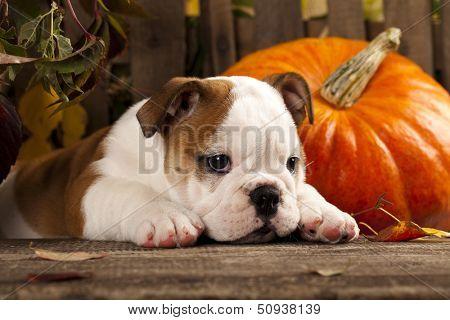 English bulldog and a pumpkin