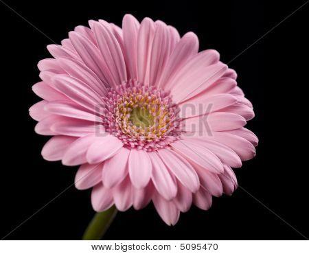 Pink Gerbera Flower On Black