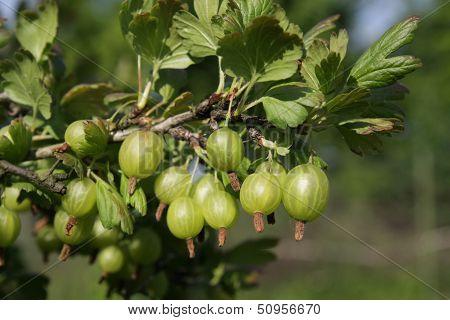 Gooseberry on the bush