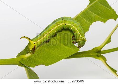 Pellucid Hawk Moth Caterpillar