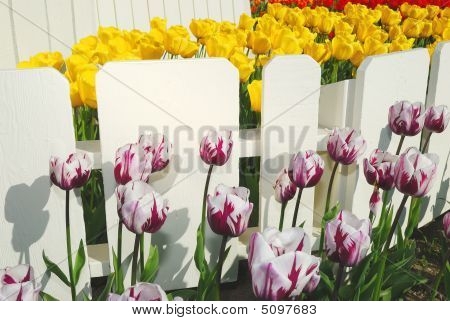 Colorful Tulips And White Fence.