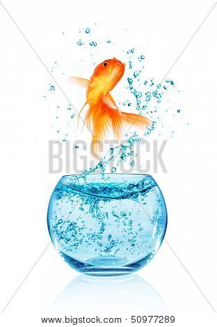 Goldfish jumping out of the aquarium isolated on white background. Search of freedom.