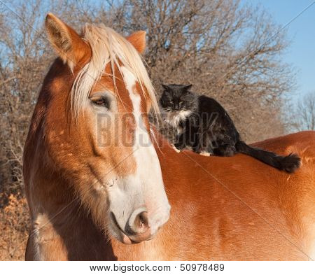 Big Belgian Draft horse with a long haired black and white cat sitting on his back