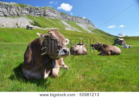 Cows in an Alpine meadow. Melchsee-Frutt, Switzerland  poster
