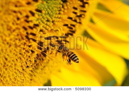 Close up of flying bee and sunflower poster