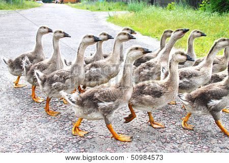 Gaggle Of Young Domestic Geese Goes On The Road In A Village