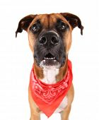 a cute pit bull boxer mix dog on an isolated white background poster