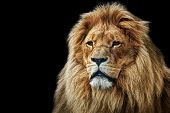 Lion portrait on black background. Big adult lion with rich mane. poster