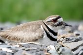 Mother Killdeer (Charadrius vociferus) on a rocky nest in spring poster