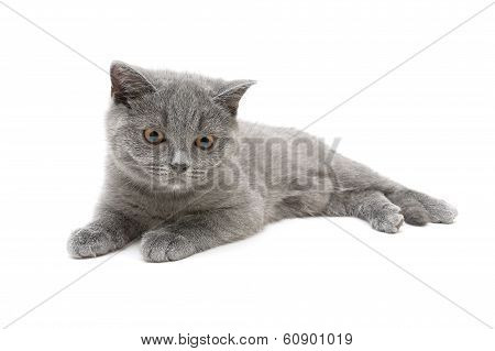 cat breed Scottish Straight isolated on a white background closeup. horizontal photo. poster