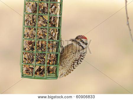 Ladder-backed Woodpecker (picoidis Scalaris)