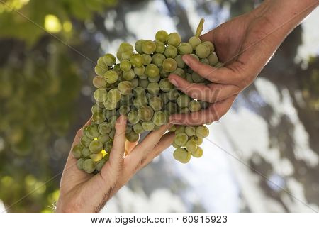 Collecting Grapes In The Vineyard