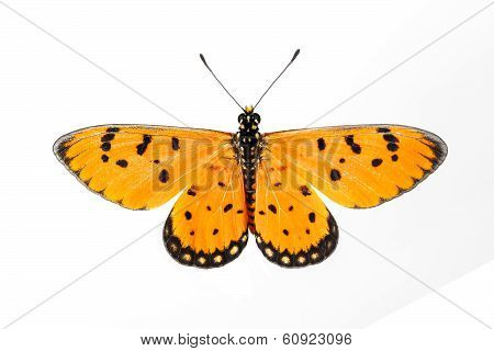 Top View Of Tawny Coster Butterfly