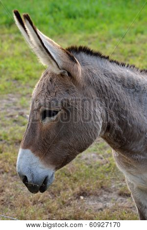 Close Up Of A Buckskin Color Donkey At A Local Farm.