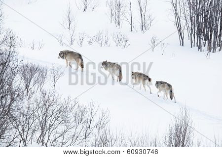 Wolves in norwegian winter forest. Snowing a cold day, February. poster