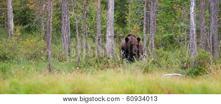 Brown Bear In Forest