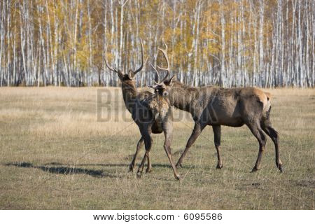 Deers, group shot