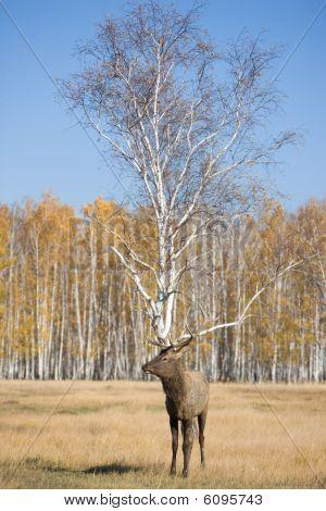 Deer And Birch