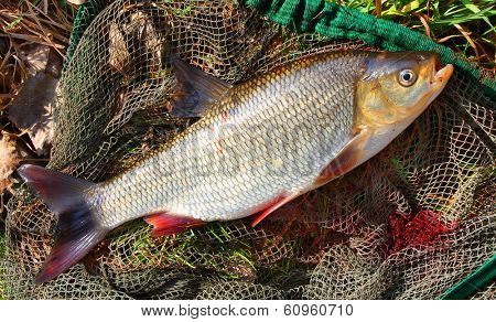 Catching fish on a fishing net. ( Ide - Leuciscus idus)
