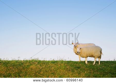 two sheep standing