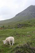 Lamb Isle of Skye, Scotland poster