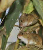 Two Harvest Mice in Reeds - Micromys minutus poster