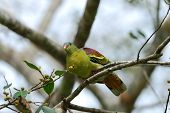 beautiful male Thick-billed Green-Pigeon (Treron curvirostra) possing on branch poster