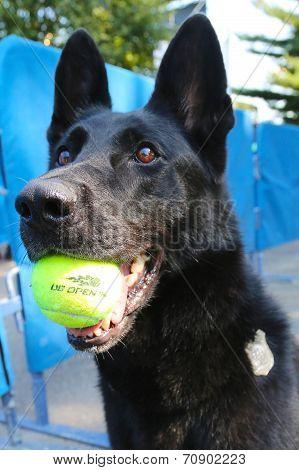 Belgian Shepherd K-9 Taylor providing security at National Tennis Center during US Open 2014