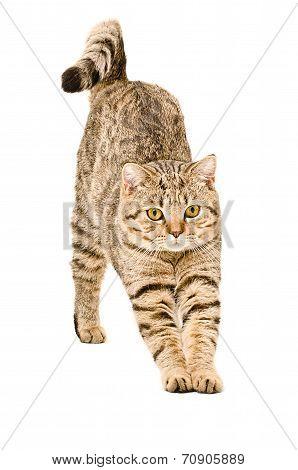 Scottish Straight cat that stretches