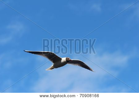 The seagull soars in the sky. Vyborg City. poster