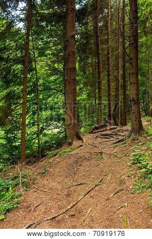 Morning Walks In Conifer Forest