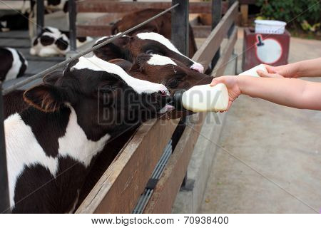 Baby Cow Feeding From Milk Bottle
