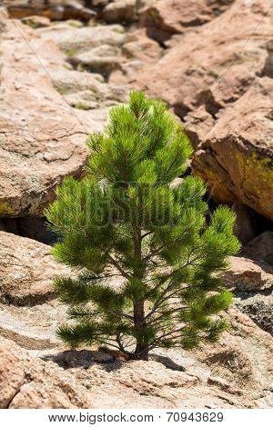 Small Ponderosa Pine At Turtle Rocks Colorado