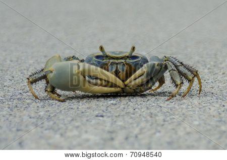Blue Crab On Road