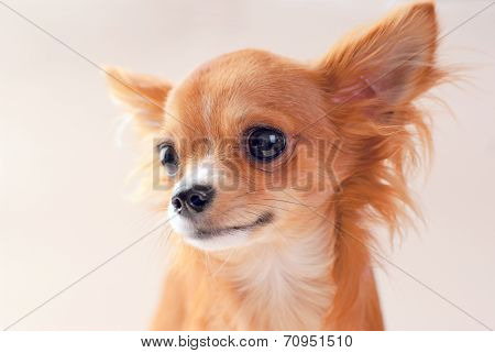 Red chihuahua dog portrait close-up