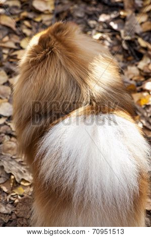 poster of German spitz dog back view close-up on autumn leaves background