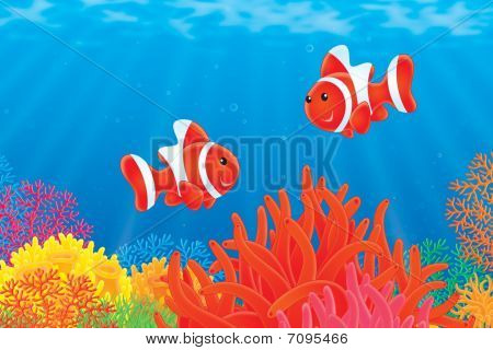 Anemonefishes