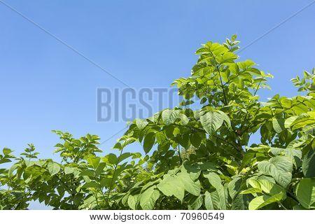 Cordate spikenard plants