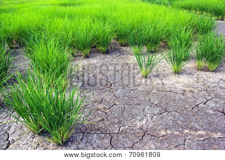 Green Rice Field With Crack Ground