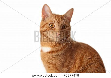 Red cat on white background