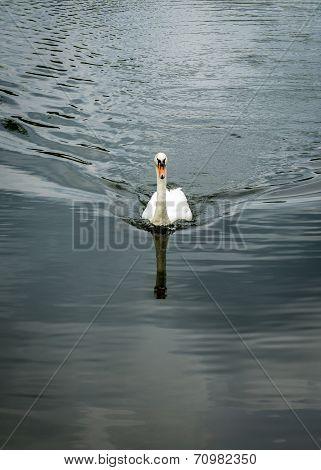 Mute Swan Towards Camera