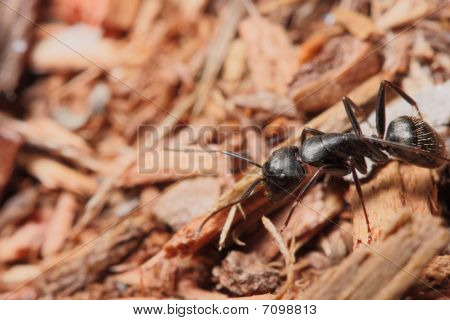 Carpenter Ant On Wood Chips