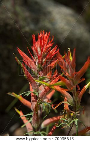 Indian paintbrush bracts