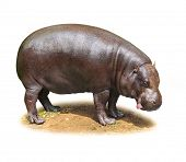 Hilarious Hippo isolated on a white background. poster