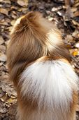 German spitz dog back view close-up on autumn leaves background poster