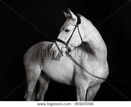 Holsteiner Horse White Against A Black Background