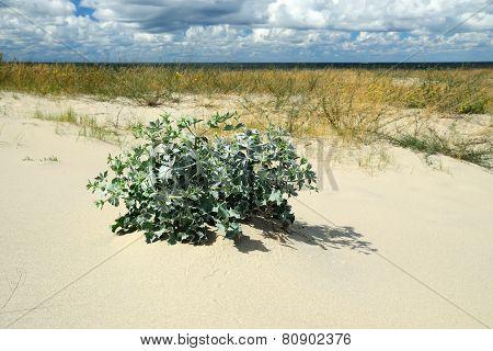 Eryngium Maritimum On A Sand Dune