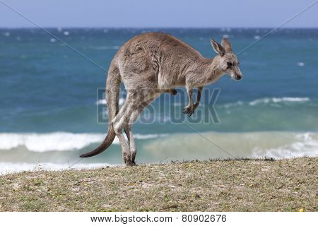 Jumping Red Kangaroo on the beach, Depot Beach,New South Wales, Australia poster