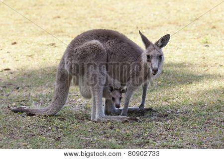 Red Kangaroo mother and joey  in Australia in NSW, Australia
